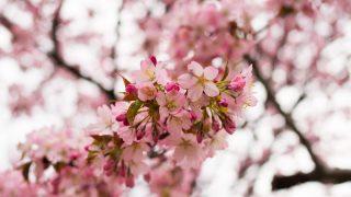 満開近い桜